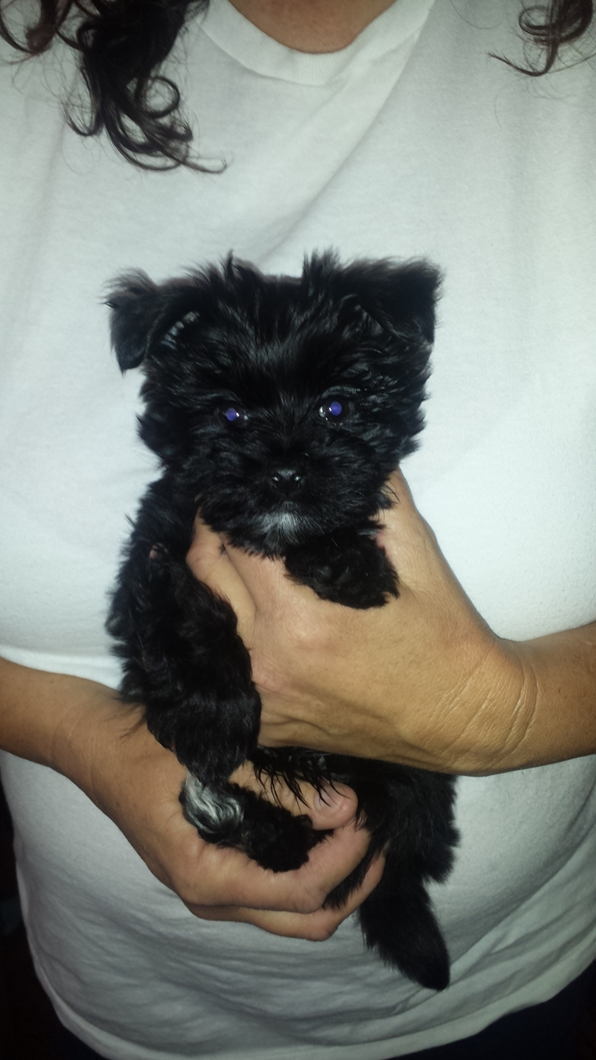 Sampson (9 weeks) - Morkie Puppy For Sale Premier Pups