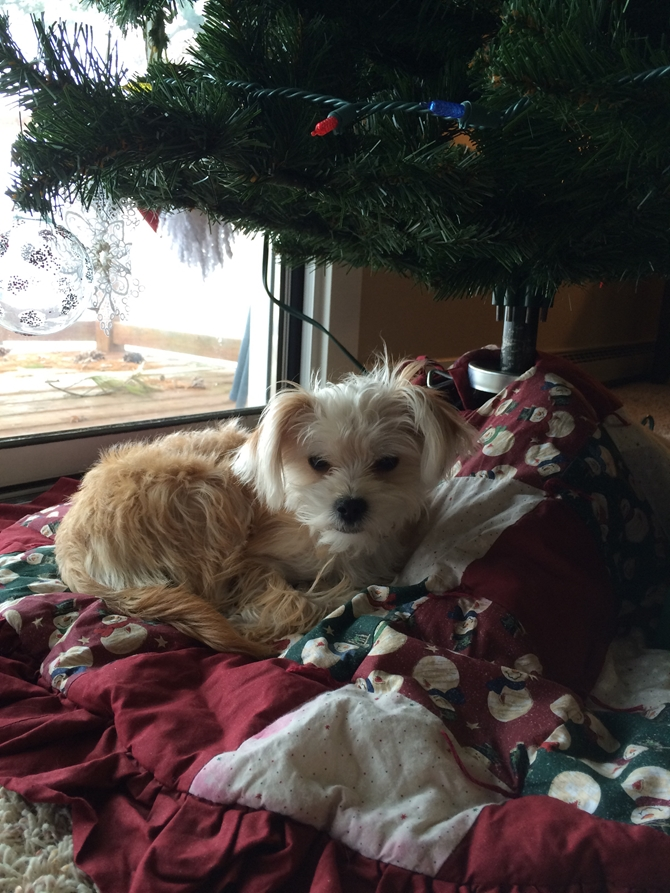 Lucy - Morkie Puppy For Sale Premier Pups