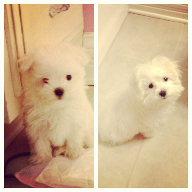 Sophie - Maltese Puppy For Sale Premier Pups