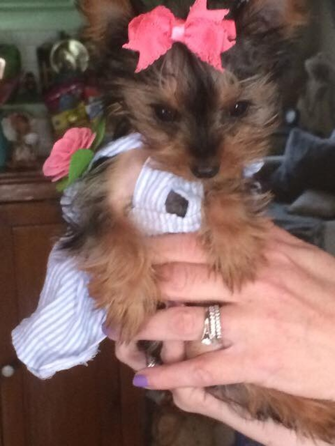 Gracie ( Formally Twinkle) - Yorkshire Terrier Puppy For Sale Premier Pups