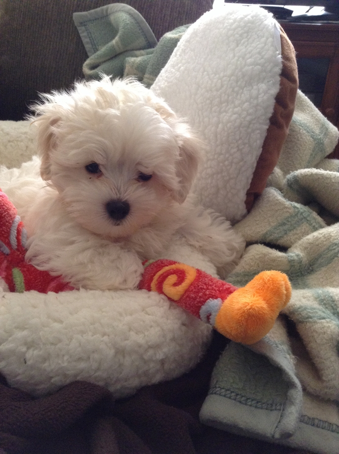 Jasper (Colton) - Maltipoo Puppy For Sale Premier Pups