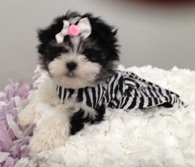 Panda (Rihanna) - Morkie Puppy For Sale Premier Pups