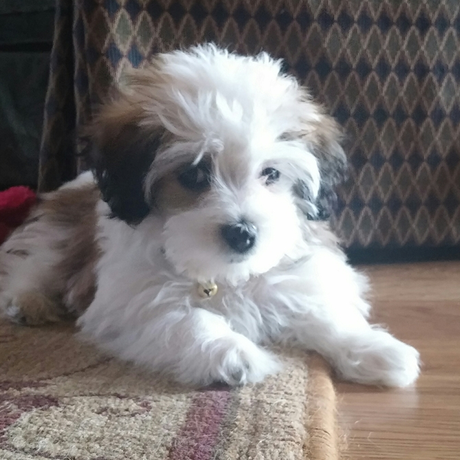 'Piper' - Havanese Puppy For Sale Premier Pups