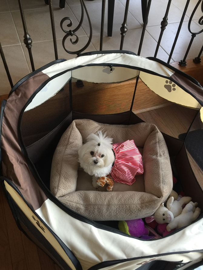 Pandora - Maltese Puppy For Sale Premier Pups