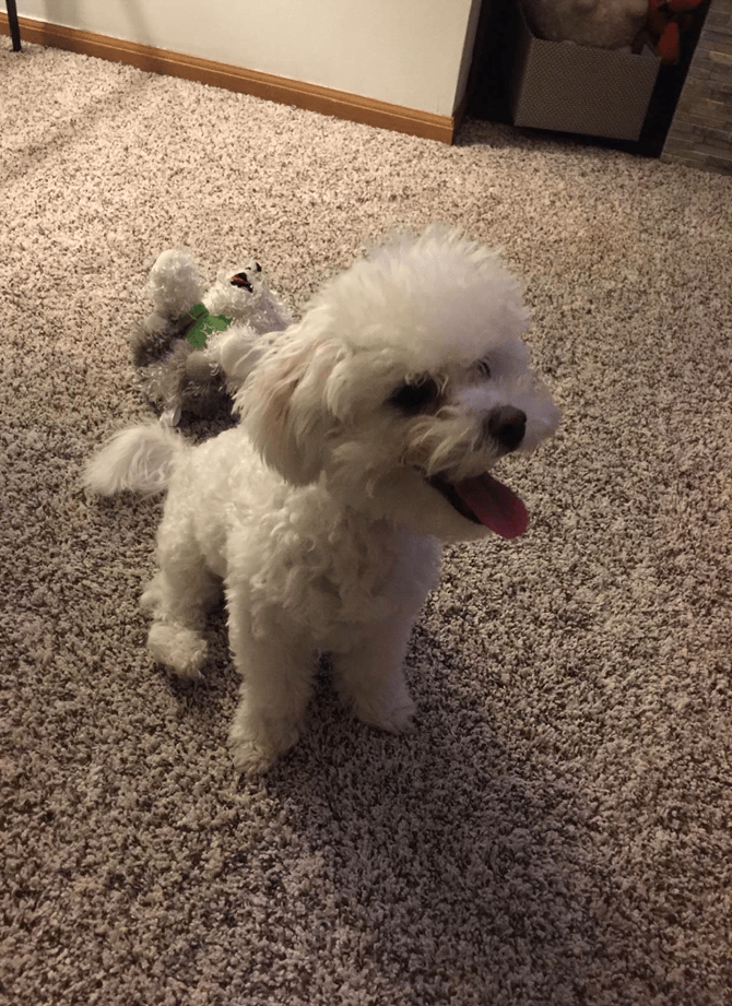 Loki (formerly Roy) - Bichon Frise Puppy For Sale Premier Pups