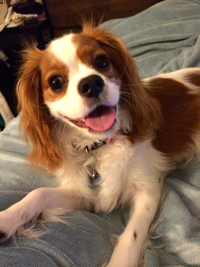 Duke - Cavalier King Charles Spaniel Puppy For Sale Premier Pups