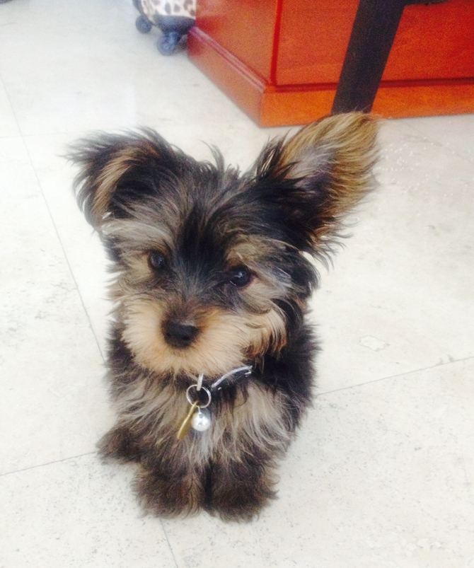 Fender - Yorkshire Terrier Puppy For Sale Premier Pups
