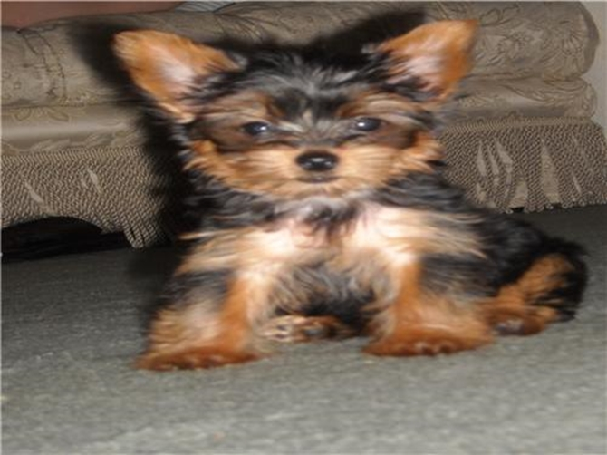 Akoyo Oh-No! - Yorkshire Terrier Puppy For Sale Premier Pups