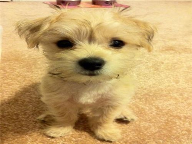 Was Amy, Now Chloe - Morkie Puppy For Sale Premier Pups