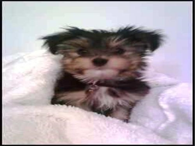 Jackson - Morkie Puppy For Sale Premier Pups