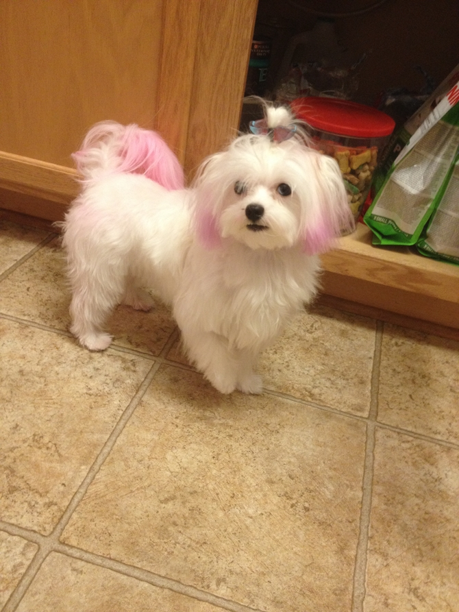 Madison monroe - Maltese Puppy For Sale Premier Pups