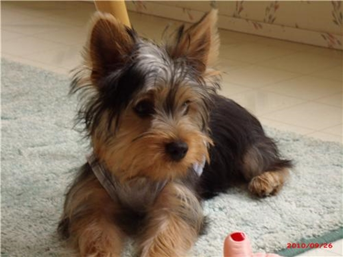 Snickers - Yorkshire Terrier Puppy For Sale Premier Pups