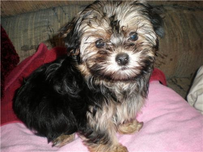 Puppers - (formerly Sasha) - Morkie Puppy For Sale Premier Pups