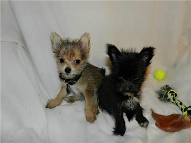 Albion [formally Colby] and Arkie [formally Dennis] Brothers! - Yorkie Pom Puppy For Sale Premier Pups