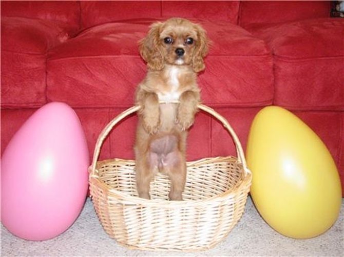 Kiala - Cavalier King Charles Spaniel Puppy For Sale Premier Pups