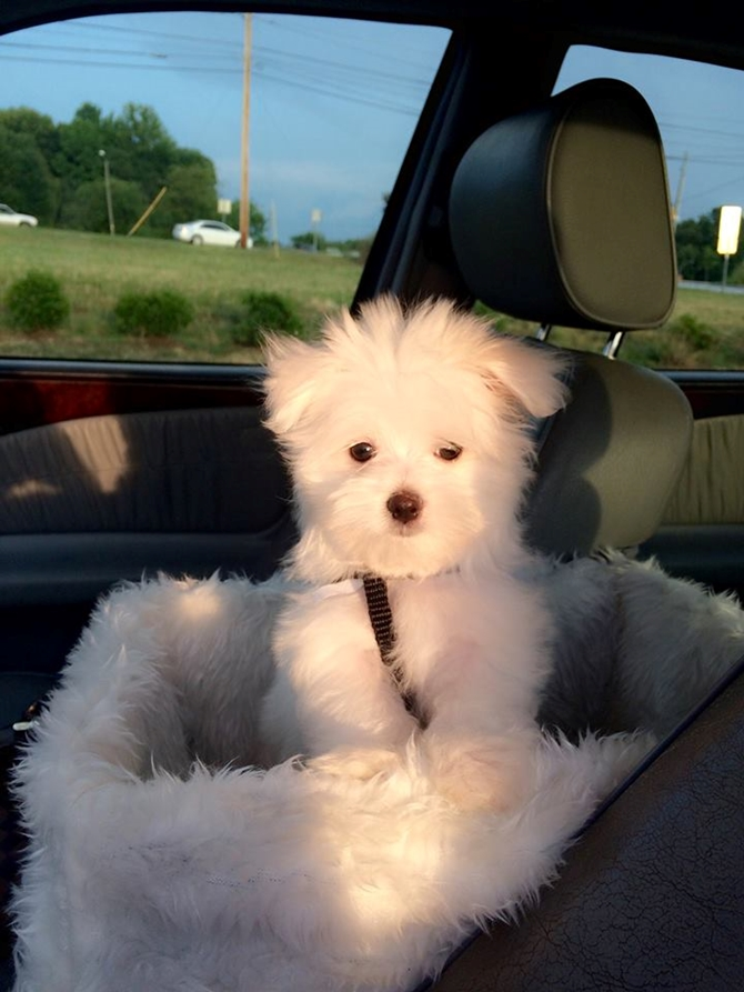 Tyler - Maltese Puppy For Sale Premier Pups