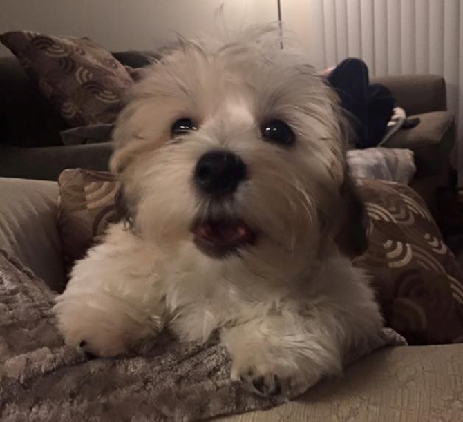 Theodore - Havanese Puppy For Sale Premier Pups