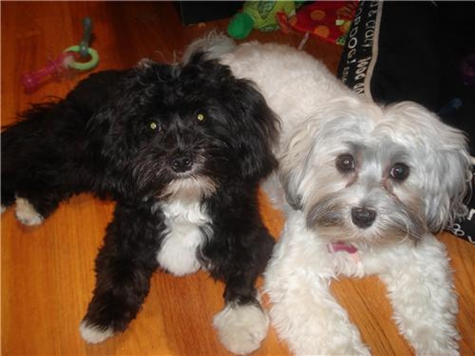 Sundae and Nihta - Havanese Puppy For Sale Premier Pups