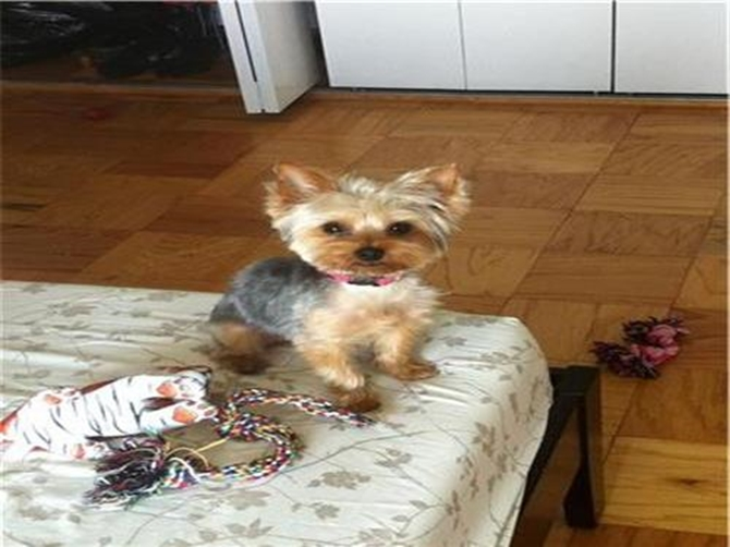 Chu-Chi (BELLA) - Yorkshire Terrier Puppy For Sale Premier Pups