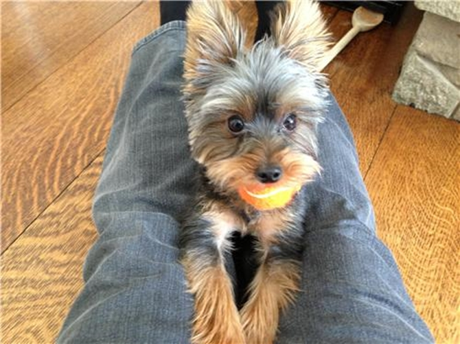 Lily Belle - Yorkshire Terrier Puppy For Sale Premier Pups