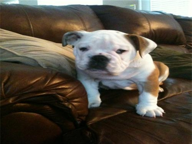 (tj) now Tank - Bulldog Puppy For Sale Premier Pups
