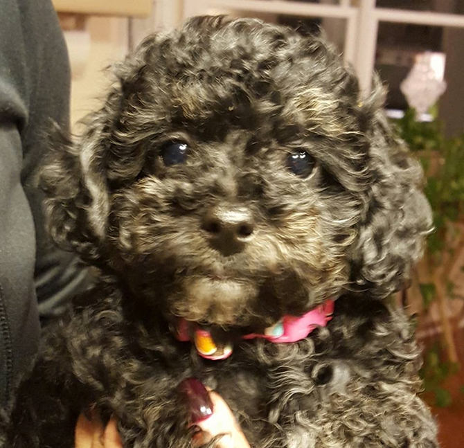 Raina - Yorkie Poo Puppy For Sale Premier Pups