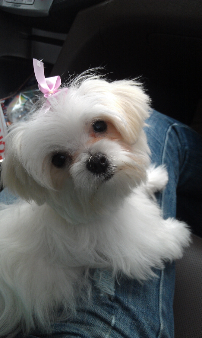 star - Maltese Puppy For Sale Premier Pups
