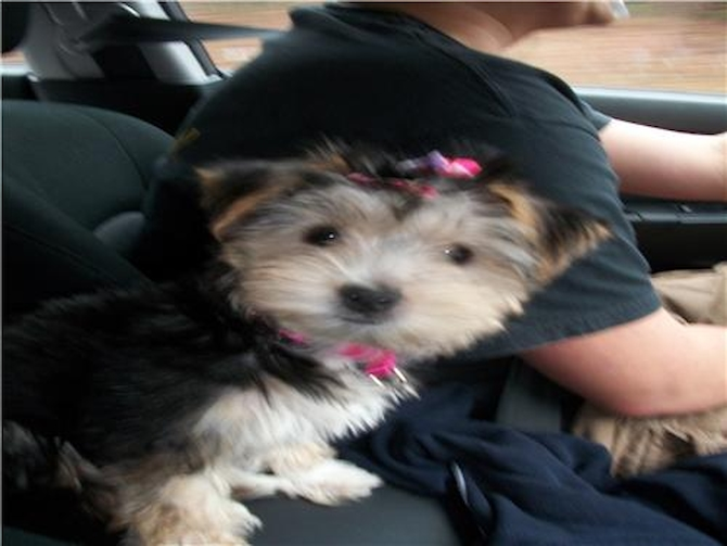 Bella - Morkie Puppy For Sale Premier Pups