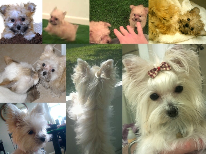 Bitsy - Morkie Puppy For Sale Premier Pups