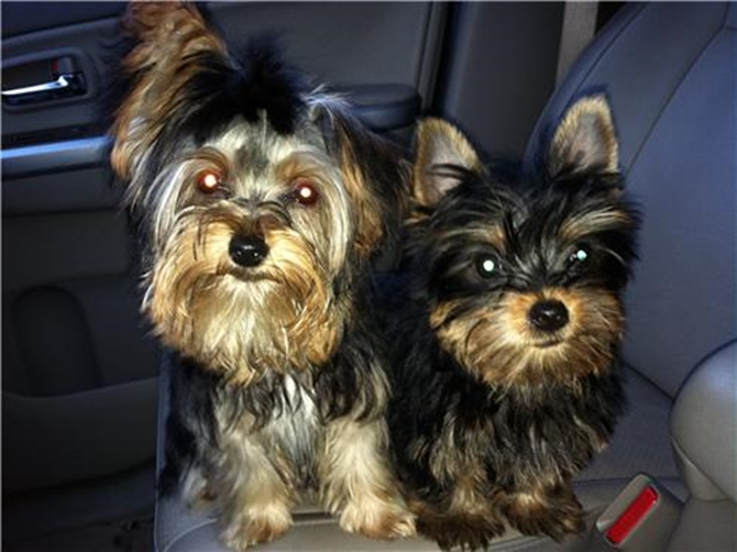 ANNEBELLE AND PEBBLES - Yorkshire Terrier Puppy For Sale Premier Pups