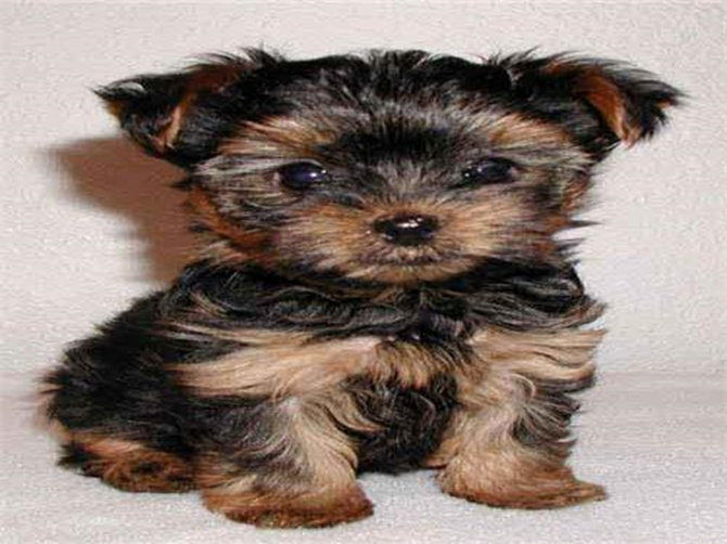Tickles - Yorkshire Terrier Puppy For Sale Premier Pups