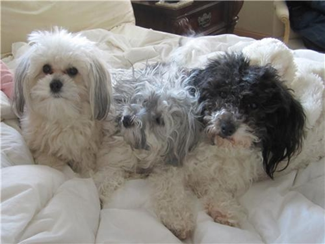 Sugar, Katie, Smoky - Havanese Puppy For Sale Premier Pups