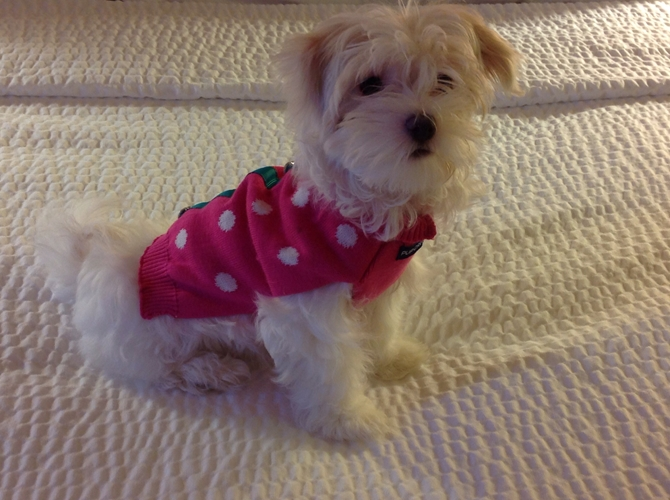 Angelica Grace - Maltese Puppy For Sale Premier Pups