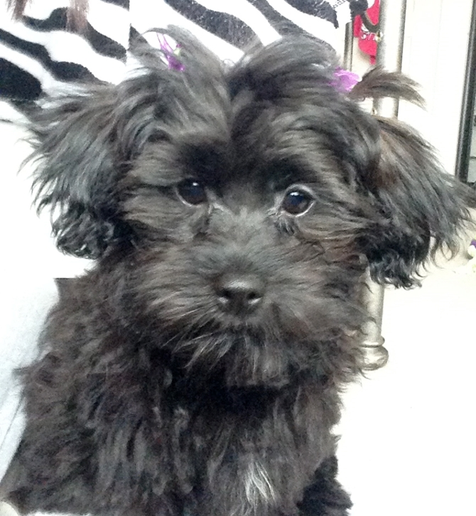Lily - Morkie Puppy For Sale Premier Pups