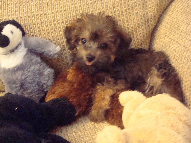 Bella - Yorkie Poo Puppy For Sale Premier Pups