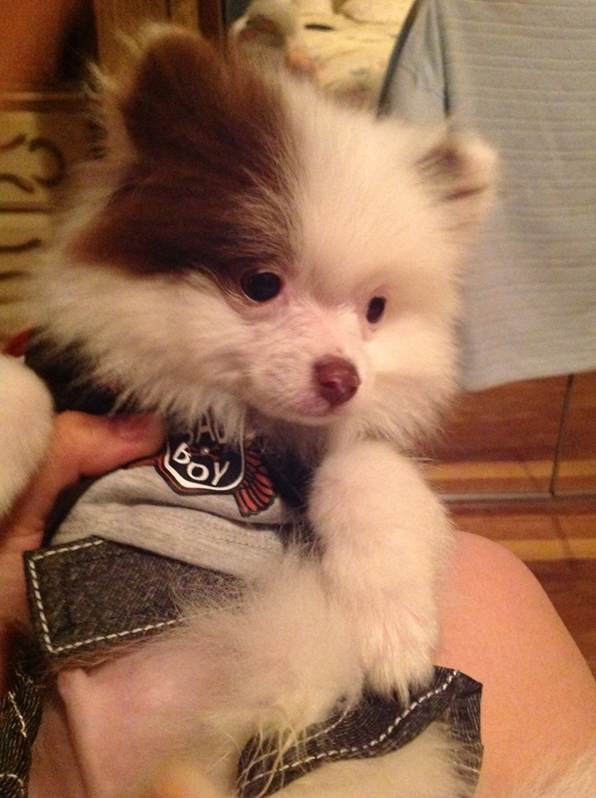 Hershey now Prince - Pomeranian Puppy For Sale Premier Pups