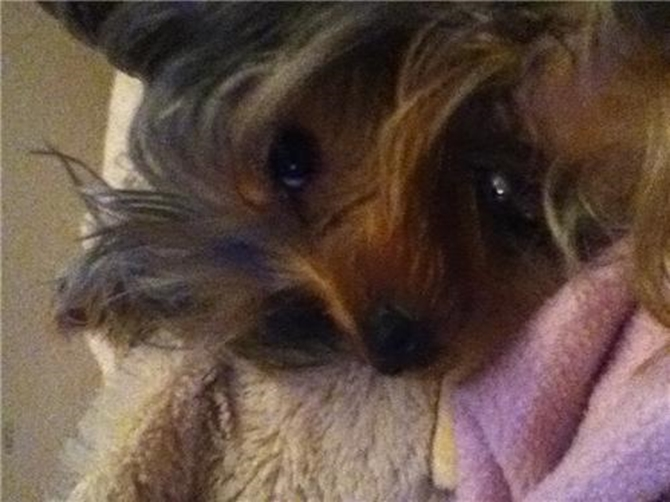 Abby - Yorkshire Terrier Puppy For Sale Premier Pups