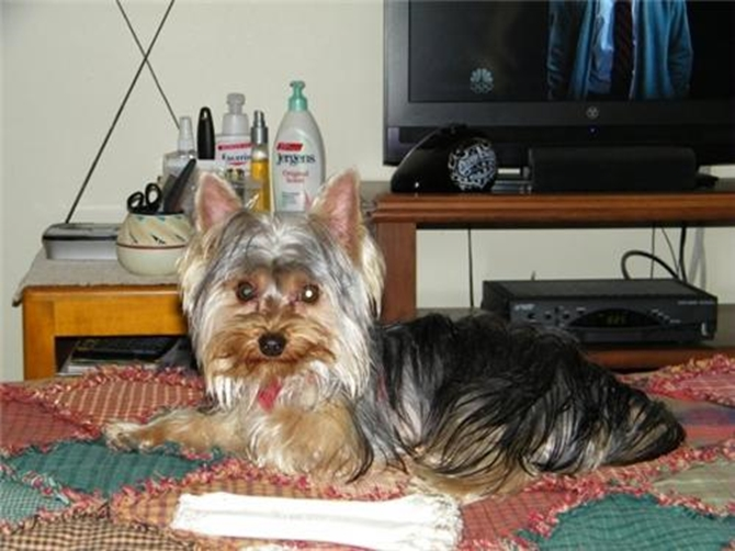 Ted - Yorkshire Terrier Puppy For Sale Premier Pups