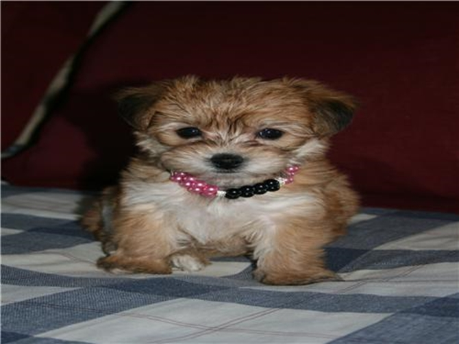 "Tia (formerly ""Lauren"") - Morkie Puppy For Sale Premier Pups"