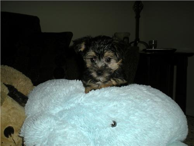 Mable formerly Sasha - Morkie Puppy For Sale Premier Pups