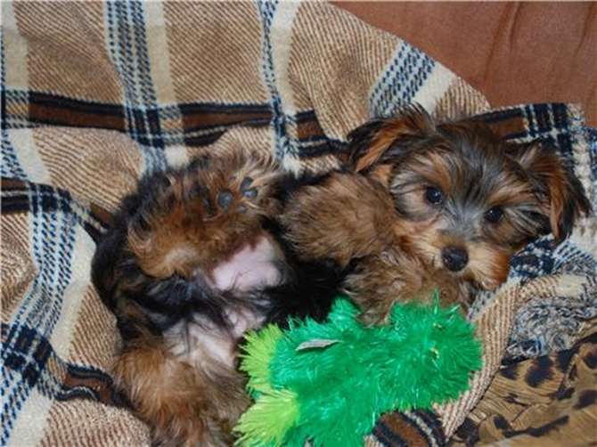 Joey - Yorkshire Terrier Puppy For Sale Premier Pups