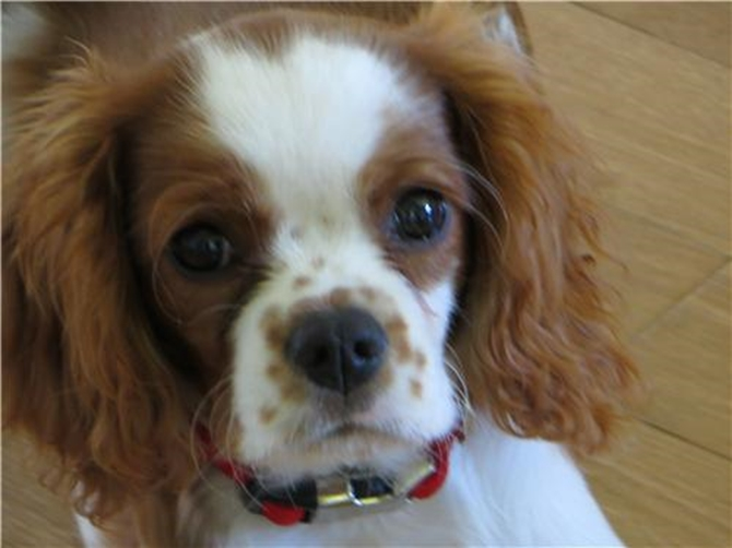 William - Cavalier King Charles Spaniel Puppy For Sale Premier Pups