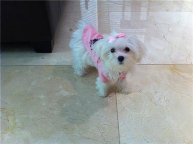 Madison - Maltese Puppy For Sale Premier Pups