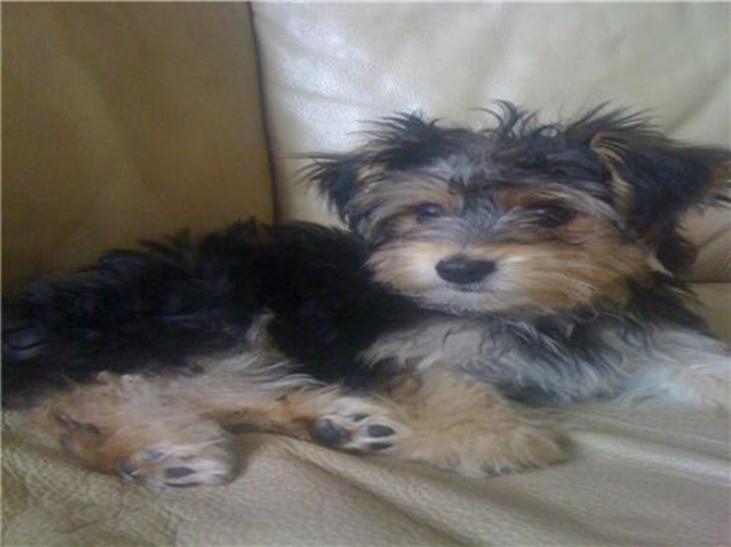 Fluffy - Morkie Puppy For Sale Premier Pups