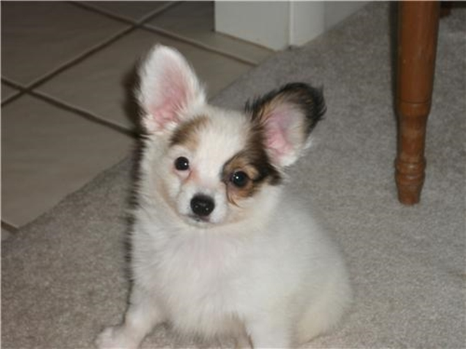Patches aka David - Papillon Puppy For Sale Premier Pups