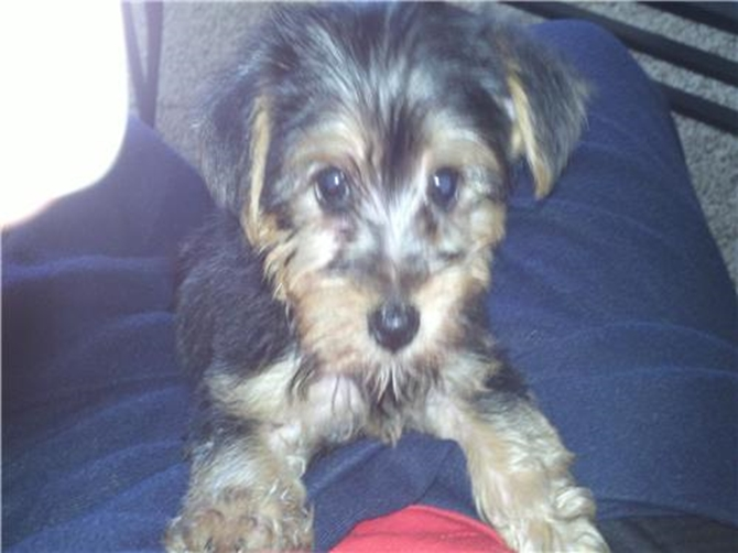 Lil Buckeye - Yorkshire Terrier Puppy For Sale Premier Pups