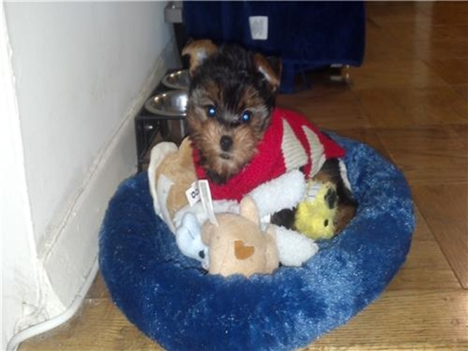 Brooklyn - Yorkshire Terrier Puppy For Sale Premier Pups