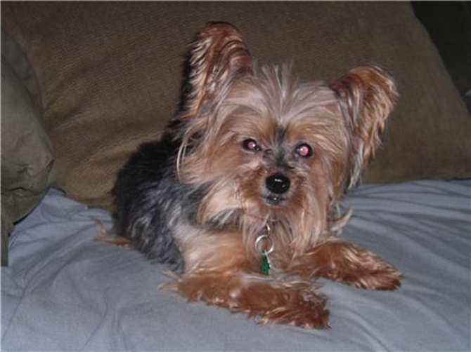 BB - Yorkshire Terrier Puppy For Sale Premier Pups