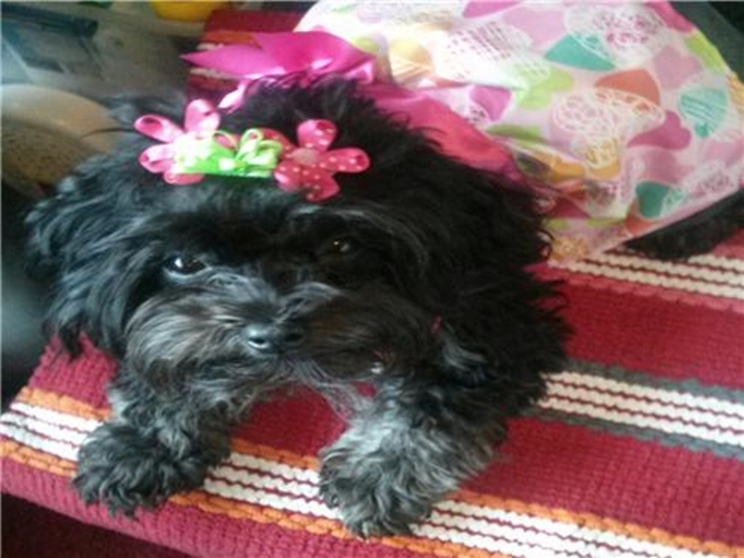 Happy 1St.Birthday Pebbles! - Yorkie Poo Puppy For Sale Premier Pups