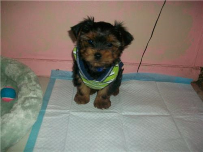 Sonny previously jeremy - Yorkshire Terrier Puppy For Sale Premier Pups